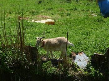 P1330279ヤギ.JPG