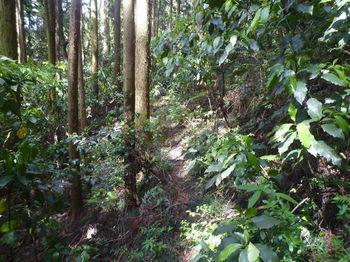 P1330426スギ植林沿い・ソマ道.JPG