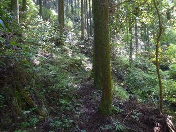 P1330467スギ植林沿い・踏み跡.JPG