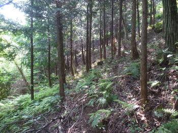 P1330642植林沿い・トラバース.JPG