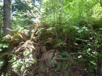 P1330669植林境の灌木ヤブに入る・赤プラポール.JPG