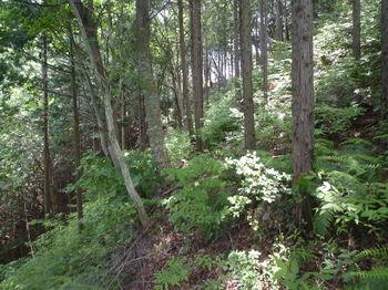 P1330674灌木ヤブが薄れる.JPG
