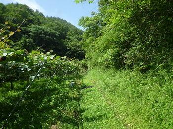 P1330914キウイ畑.JPG