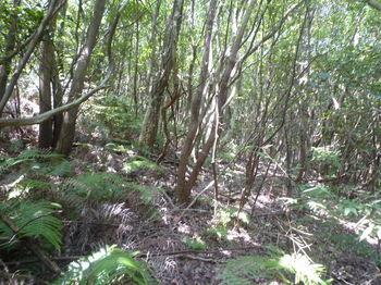 P1340152シダ尾根を右によけ雑木疎林を進む.JPG