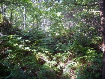 P1340725植林境jのシダ.JPG