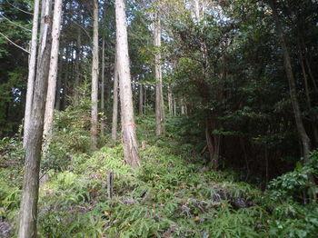 P1340937植林境のシダ尾根.JPG