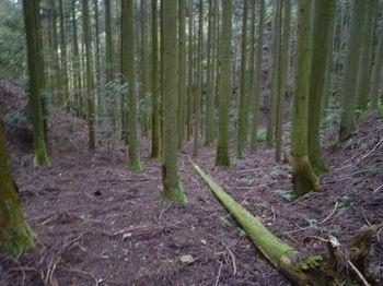 P1350046植林谷の踏み跡.JPG