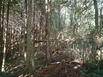 P1350345ヒノキ植林境.JPG