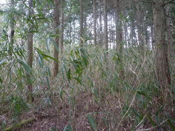 P1360016植林・ササヤブ.JPG