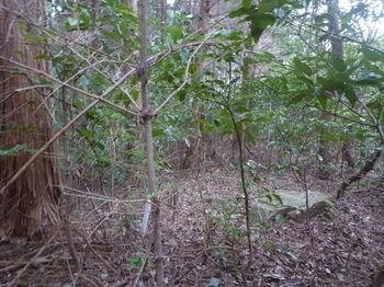 P1360055植林境・アオキ等ヤブ・プラポール.JPG