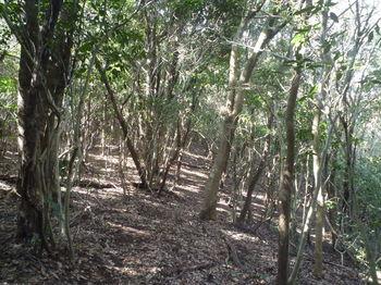 P1370173低木(アオキ)の中の踏み跡.JPG
