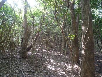 P1370189疎林を進む.JPG