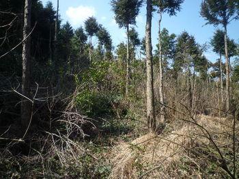 P1370378荒れた伐採植林地.JPG