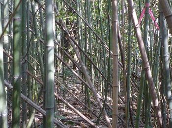 P1370626密生する竹・テープ.JPG