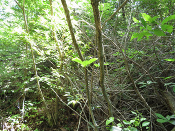 IMG_0624尾根上の伐採木.JPG