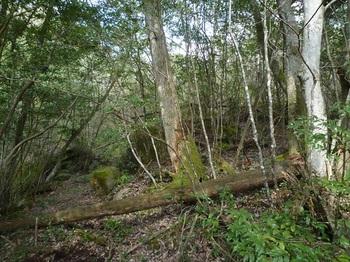 P1150127元のカーブ地点で右の疎林尾根へ取り付く.JPG